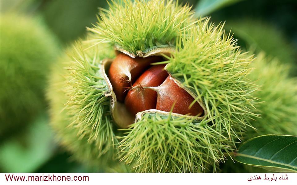 درختانی بلند،دارای چتر و تاجی از شاخ و برگ انبوه هستند وبسایت اطلاعات پزشکی مریض خونه Www.marizkhone.com