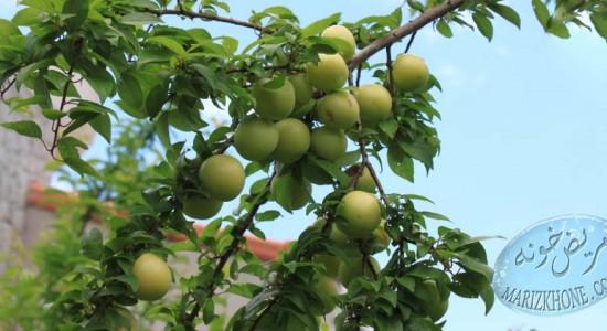 خواص دارويي آلوچه/Greengage,Greengage- آلوچه-PRUNS-گوجه سبز-درختان گوجه سبز-مدت نگه داري گوجه سبز-ويتامين C-اسيد ماليک-اسيد سيتريک-کربوهيدرات-چربي-پروتئين-فيبر خام-نياسين-کلسيم-فسفر-ويتامين-ويتامين A 5-ويتامين B1 2-ويتامين C 13-نفخ-رماتيسم-خاصيت مسهلي-درمان اعصاب-انگل-هسته گوجه سبز-خاصيت هسته گوجه سبز-ميوه ترش مزه-طعم دهان-حالت اسيدي خون-سرطان-اسيد بنزوئيک-خاصيت ضد ميکروبي-ميکروب-ناراحتي هاي گوارشي-اسهال