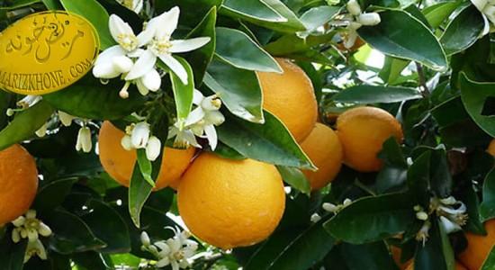 خواص دارویی نارنج/Aurantium Citrus -خواص دارویی میوه ها