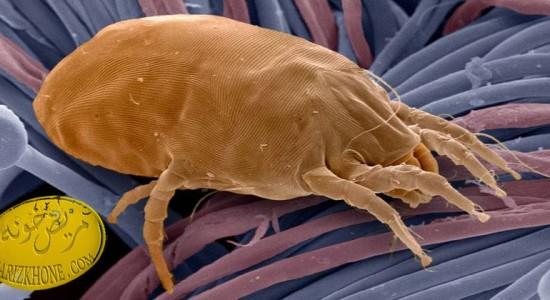 مایت های گرد و غبار خانه و بیماری آسم ,علت ابتلا به آلرژی,درمان بیماری آسم,علت التهاب مجاری تنفسی,محل زندگی مایت های بیماری زا, House dust mites, mites