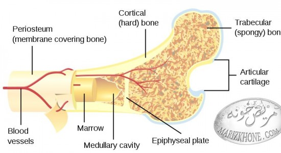 کشف ویژگی خود ترمیمی در استخوان اسفنجی ,خودسازی استخوان به چه معناست,درمان نرمی استخوان در کودکان,راه های جلوگیری از پوکی استخوان,علت ابتلا به پوکی استخوان
